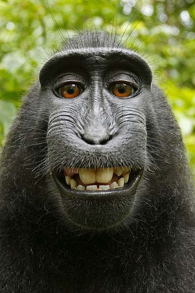 Macaca_self-portrait_public_domain